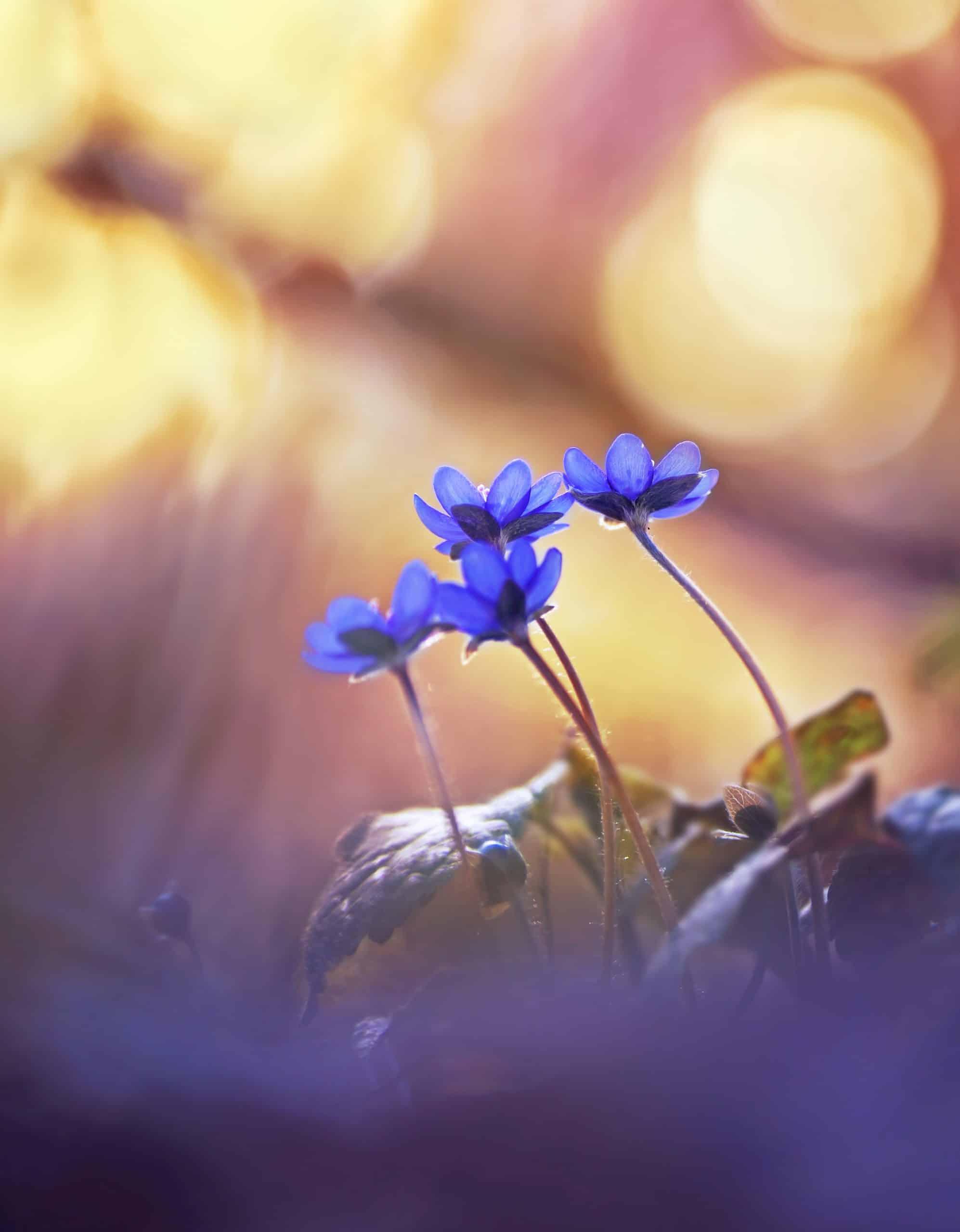 Blå blomst fobibehandlin.dk frygt for edderkopper - behandling af edderkopfobi (araknofobi)
